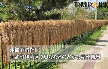 金武町の稲作風景