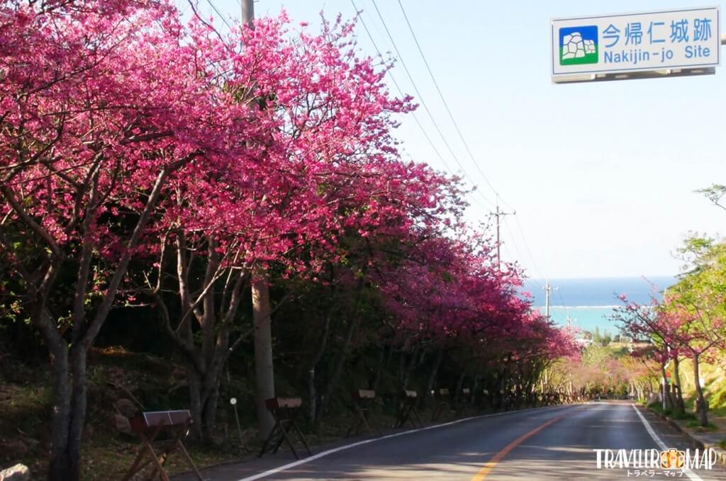 今帰仁グスク無料区域の桜