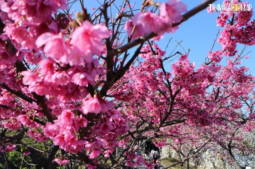 今帰仁グズクの桜