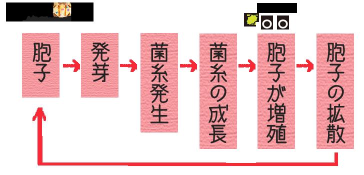カビの繁殖サイクル